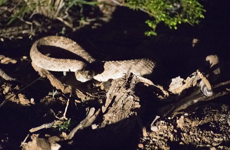 Senryu : rattlesnake