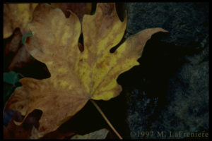 autumn leaf photograph by M. LaFreniere, all rights reserved