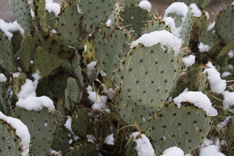 closer view of snow on cacti, photo by M. LaFreniere, all rights reserved