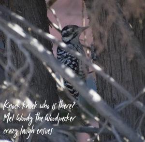 ladderbacked woodpecker, Arizona, photo by M. LaFreniere
