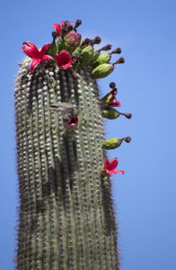 cactus wren sipping from a red saguaro cactus flower, cactus haiku