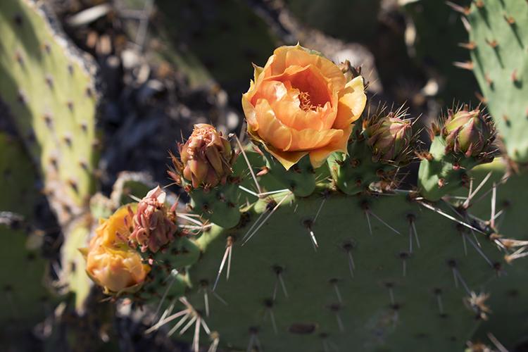orange cactus flower blossoming in a row across a cactus pad, cactus haiku