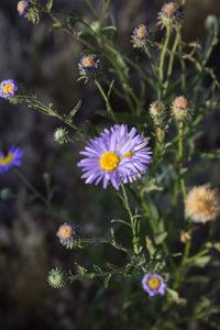 purple wildflower, cactus haiku